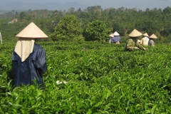 Cueille de thé vert