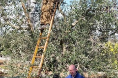 Madonna della Scala - Raccolta delle olive